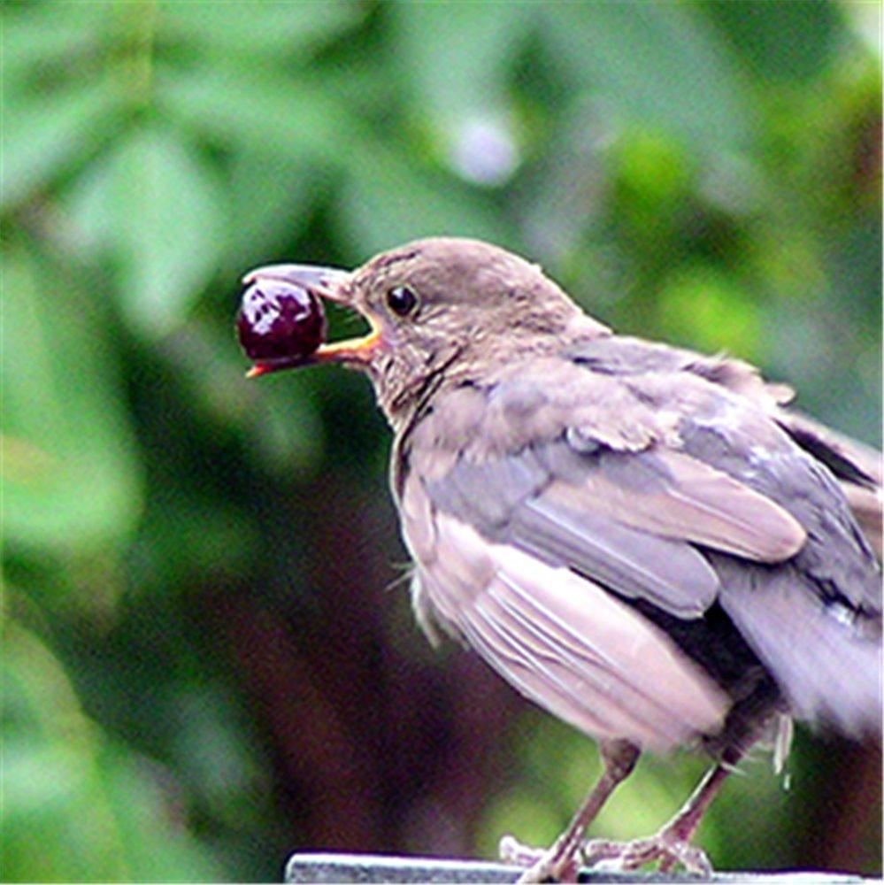 Prot ger le jardin des oiseaux tom press - Faire fuir les oiseaux dans un jardin ...