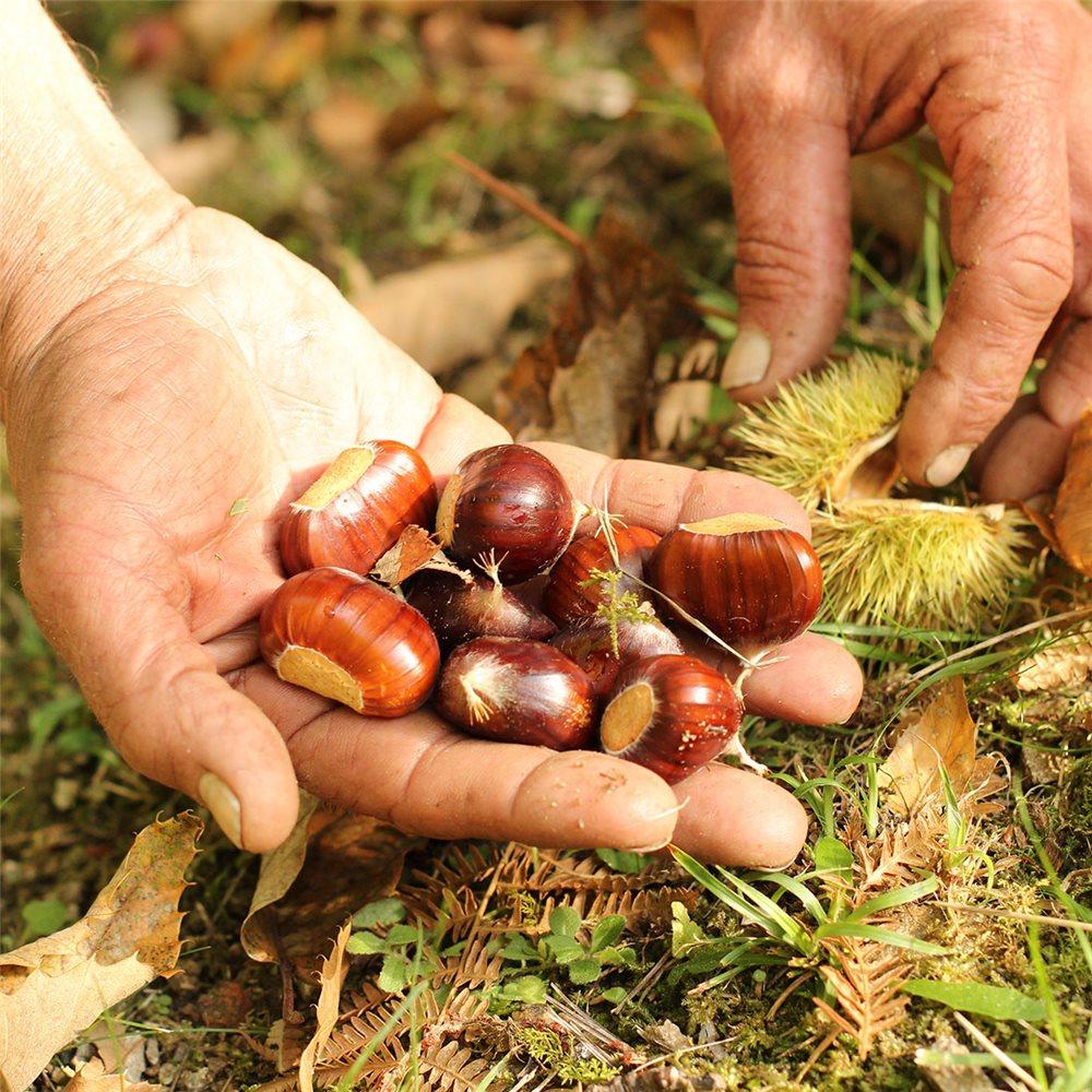 Faire Germer Un Marron D Inde compote pommes châtaignes et poires - tom press